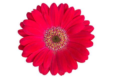 Red gerbera flower  Isolated on White Standard-Bild