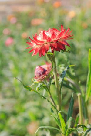 everlasting: Straw flower, Everlasting