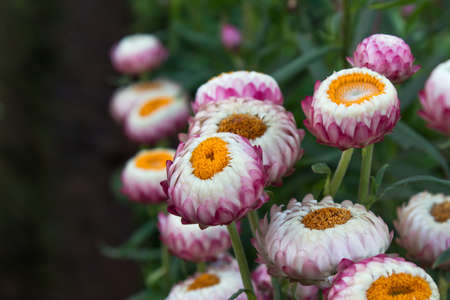 Straw flower, Everlasting