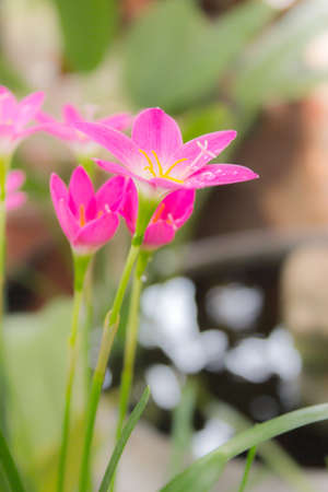 Pink zephyranthes lily flower (rain lily ,fairy lily)