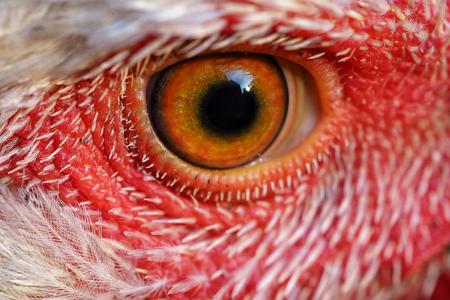 close-up shot of a chicken big eye looking at camera.