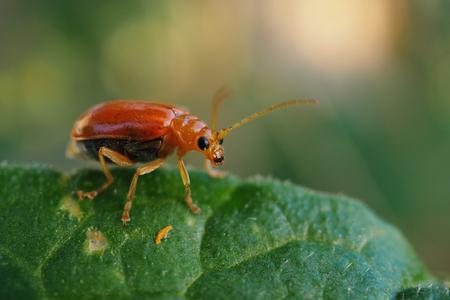 Closeup red cucurbit leaf beetle or red pumpkin beetle on leaf.