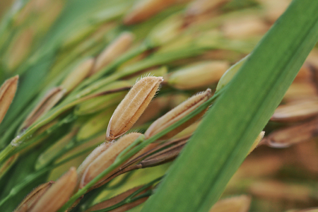 Close up of dry paddy rice and rice leaf, selective focus.