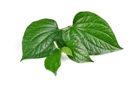 Piper sarmentosum or Wildbetal leafbush Thai herb.Green Leaf leaves isolated on white background.