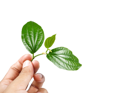 Piper sarmentosum or Wildbetal leafbush Thai herb.Green Leaf leaves isolated on white background. and Hand holding branch,