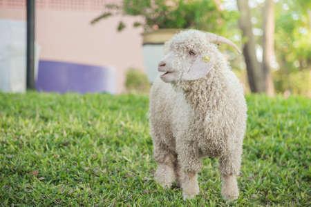 white angora goat on grass hill