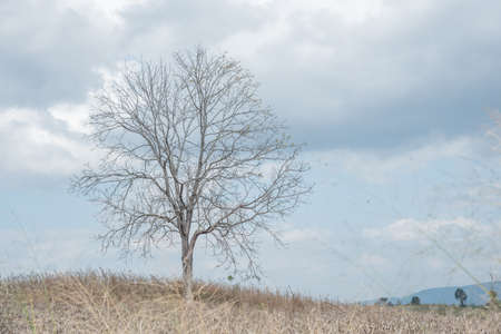incursion: A dry  tree among dry corn field in winter season in Wanh Nam Keaw ,  thailand
