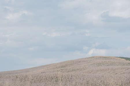 incursion: brun dor� s�che prairies de champ de ma�s Banque d'images