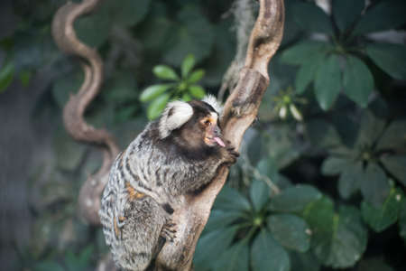 marmoset: marmoset monkey on branch of tree is tongue out