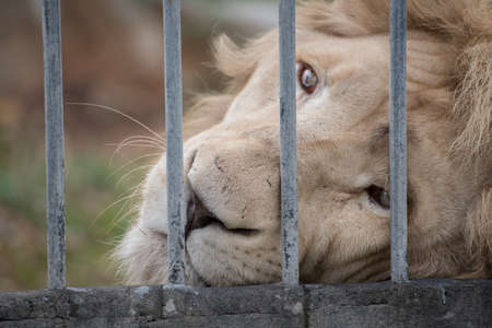 lion looked sad eye in cage at zoo photo