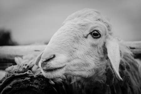 sheep eye: white sheep eye and  head out of cage Stock Photo
