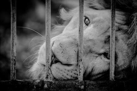 looked: lion looked sad eye in cage at zoo