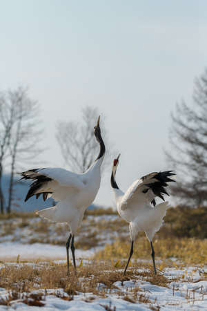Beautiful Dancing pair of Couple lover Red-crowned crane bird from kushiro hokkaido japan in winter season , Courting animal behavior Stock Photo