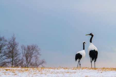 Beautiful Dancing pair of Couple lover Red-crowned crane bird from kushiro hokkaido japan in winter season , Courting animal behavior Banco de Imagens