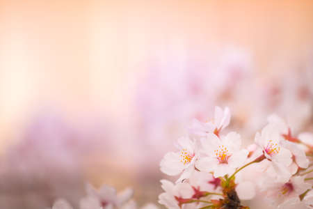 very beautiful japan sakura cherry blossom flower background in spring season,space for text Stockfoto