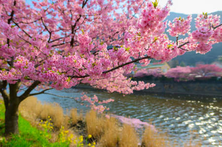 This is an ealy blooming Kawazu Sakura Blooming in winter season .Beautiful Japan Sakura tree ( Cherry Blossom ) with blue sky background. Relaxing under sakura tree . Stockfoto