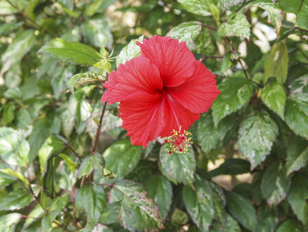 Red Hibiscus flower beauty in the garden photo