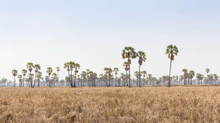 sugar palm: The many sugar palm in the prairie Stock Photo