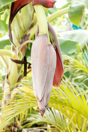 médula: La médula del tallo de plátano en el jardín tailandés