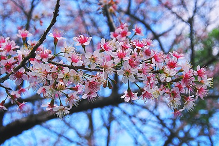 Tree branch of a beautiful wild himalayan cherry blossom