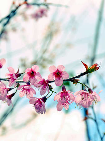 Close Up Beautiful Wild Himalayan Cherry blossom in north of Thailand Stock Photo