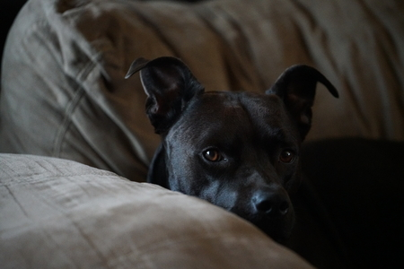 pitbull laying on couch
