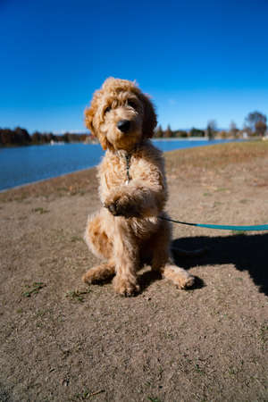 cute golden doodle puppy sitting with paw up