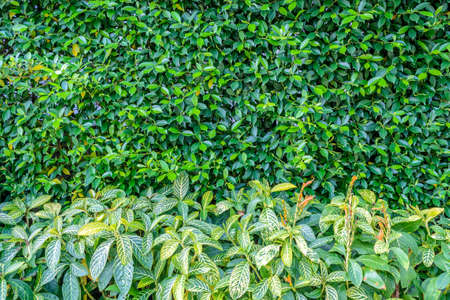 shrub: green shrub fence in garden