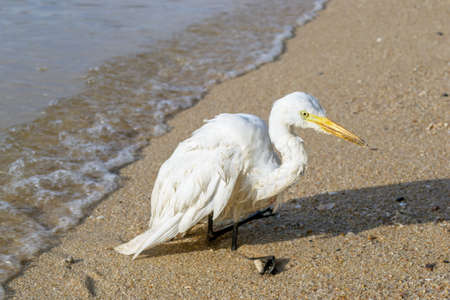 civilized: White Pelicans legs was injured.