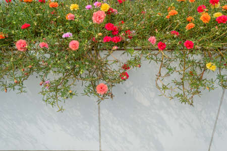 ���wall tiles���: Portulaca oleracea flower with Wall tiles Stock Photo