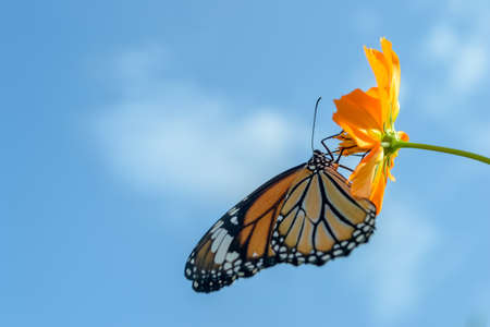 pink flower: Beautiful Monarch butterfly feeding on cosmos flowers against blue sky Stock Photo
