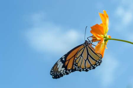 rosa negra: Hermosa mariposa de alimentaci�n de monarca en las flores del cosmos contra el cielo azul Foto de archivo