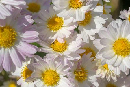 japanese chrysanthemum: Japanese Chrysanthemum Flower background