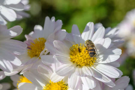 japanese chrysanthemum: Bee and Japanese Chrysanthemum Flower Stock Photo
