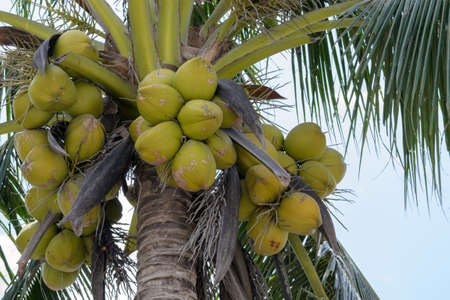 fresh coconuts in the bunch at coconut tree.