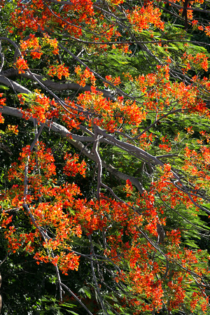 flame like: The Flame Tree. the tree of auspicious. Stock Photo
