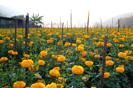 destined: Marigolds planted in the house or the fence. Life is sacred destined to flourish. Advanced color like gold glittering Yellow brilliantly It is sacred to bolster gold full house.