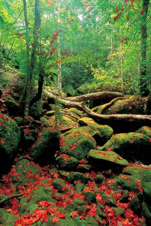 kradueng: Rainforest trails with beautiful maple leaves falling on the rocks at Phu Kradueng National Park Thailand.