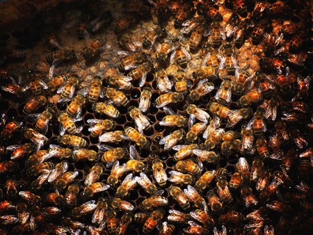 mellifera: Apis mellifera bee species Stock Photo