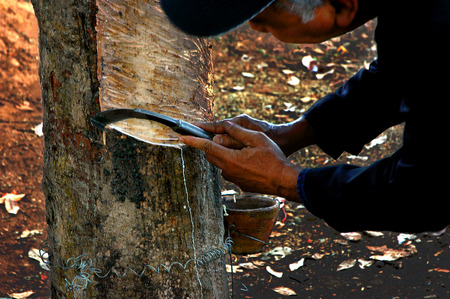 tapping: Tapping Para rubber trees Is the main occupation of the rubber farmers.