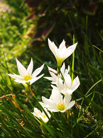 favorite colour: Zephyranthes.The flowers are very beautiful one. It also has a variety of colors as well, growers can choose their favorite colors to decorate the garden of the house.