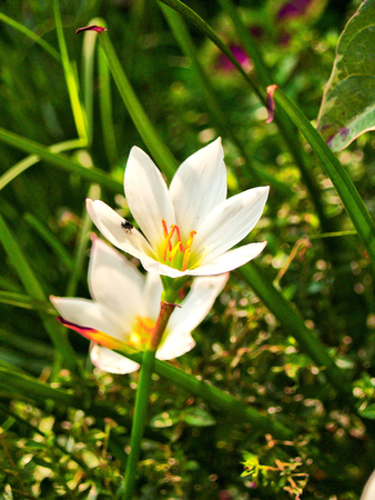 growers: Zephyranthes.The flowers are very beautiful one. It also has a variety of colors as well, growers can choose their favorite colors to decorate the garden of the house.