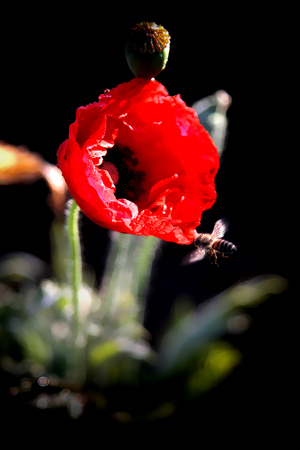 sharpen: Red Poppy.A flower is a flower symbol has two meanings of veterans. To earn the WVO Thailand. And is known as the opium poppy. To sharpen its results used to make deadly drug itself. Stock Photo