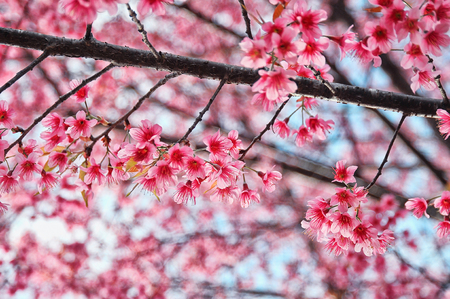prodigy: Every winter every year. Two sides to Doi Ang Khang, Chiang Mai will be found flowering Wild Himalayan Cherry or Sakura prodigy Thailand and blooming show off the beauty of pale pink blossoms in full early.