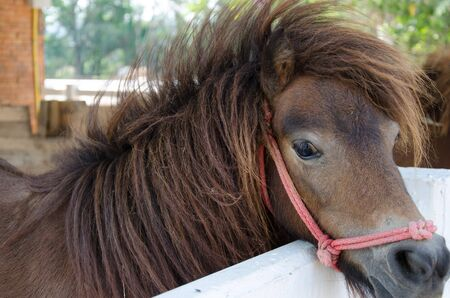 The dwarf horse in stables. photo