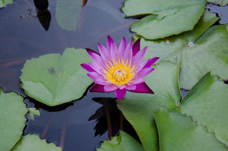 the beautiful colors in the lotus pond with lotus leaves. photo