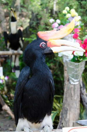 casque: Wreathed Hornbill on the tree