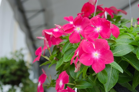 The beauty Vinca flower blooming in garden photo