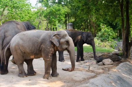 Elephant in zoo Chonburi, Thailand. photo