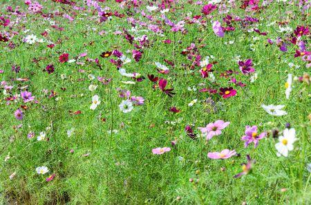 jardines flores: Jardines de flores japoneses plantaron en la provincia de Ibaraki.